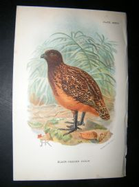 Allen 1890's Antique Bird Print. Black-Headed Colin. Keulemans